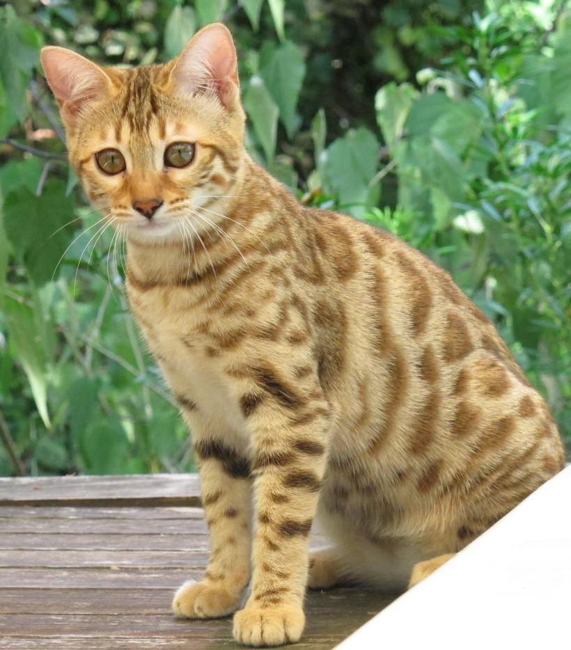 Joyosa chaton Bengal
